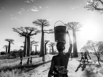 Baobabs - n° 1/15