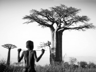 Baobabs - n° 1/7