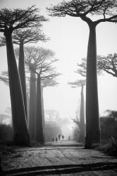 Allée des Baobabs, Marondava, Madagascar - 2012
