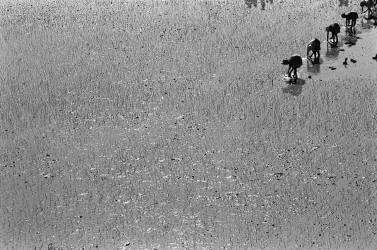 MEN Pierrot - Travail de rizière, vers Ambatolampy, 2000